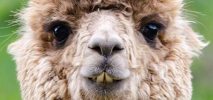Assets-and-Alpacas